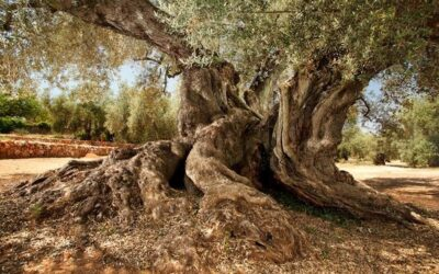 A árvore mais antiga azeite em Espanha com 1701 anos