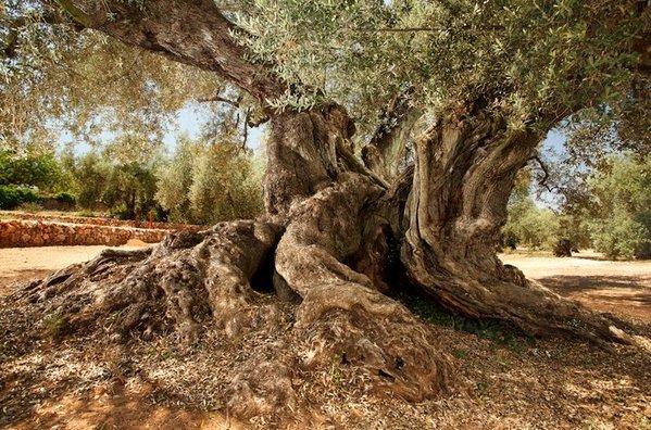 El olivo más viejo de España con 1701 años