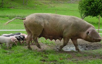 Είναι το Ιβηρικό ζαμπόν από θηλυκό χοίρο καλύτερο από έναν αρσενικό χοίρο;?