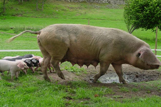 Onko naaras sian Iberian kinkku parempi kuin uros sika??